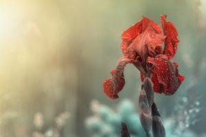 Die rote Blume