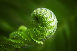 Macro photo of young fern sprout with selective focus