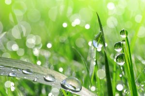Fresh green grass with dew drop closeup. Nature Background
